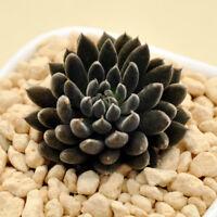 Succulent Live Plant - Sinocrassulayunnanensis 3cm - Succulent Garden Rare Plant