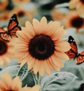 "2"" Sunflower Pink Flower Butterfly Peach Pretty Beautiful Vinyl Cool Sticker"