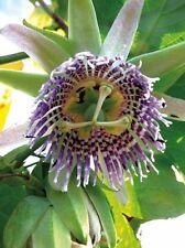 Passiflora ligularis Grenadia 10 seeds