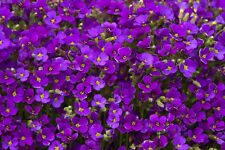 8 x Aubretia Axcent Deep Purple evergreen perennial aubrieta Plug Plants