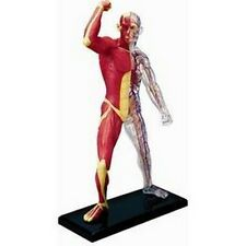 Tedco 26058 4D Human Anatomy Muscle and Skeleton Model NEW