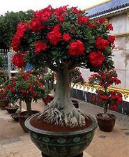 Red Desert Rose - LIVE PLANT Adenium Obesum BONSAI TROPICAL
