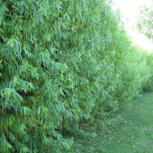 5 Hybrid Aussie Willow Trees - Fast Growing Privacy and Shade - Easy to Grow