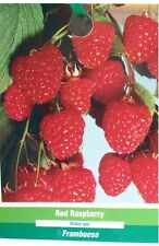 Red Raspberry 1 Gal. Live Plant Nutritious Health Plants Your Sweet Raspberries