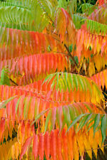 Rhus typhina (Stag's Horn Sumach) - 30 seeds.  Vibrant autumn colours.