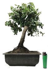 Quercus Bonsai Trees