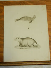 1842 Antique Natural History Print/Hooded Seal & Opossum