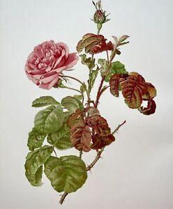 WILLMOTT, Ellen Ann (1858-1934); Parsons - ROSA PROVINCIALIS BULLATA Rose 37 cm