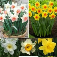100 Narcissus Flower Seeds Daffodil Mixed Beautiful Scented Decor Bonsai Garden