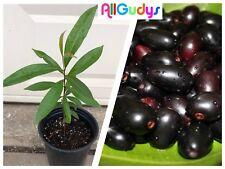 JAMUN (Syzygium cumini) 1 Gallon Indian Wax Apple / Jambolan / Java Plum / Duhat