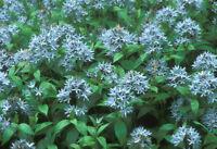 25+ Samen Panicum miliaceum Silberne Rispenhirse Silver millet Saatgut