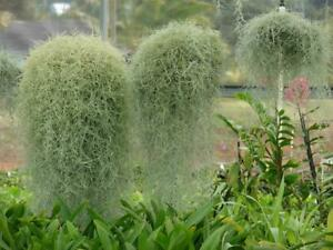SPANISH MOSS - LIVE hanging airplant - all sizes tillandsia usneoides air plant