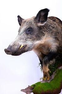Taxidermy Boar Head Stuffed Mammals mount Animal Sus scrofa