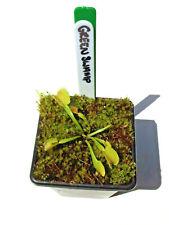 Venus Fly Trap Green Swamp Cultivar Dionaea Muscipula House / Garden Plants
