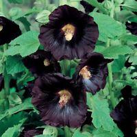 Seeds Hollyhock Mallow Nigra Black Giant Flower Perennial Garden Cut Ukraine
