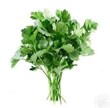 Parsley Seeds Aromatic Sheet Organic Russian Herb Seed