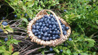 Haben Sie schon Früchte der Wald-Heidelbeere gekostet, schmecken fantastisch !