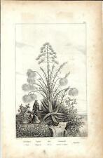 Stampa antica SIRACUSA Cotone Papiro Aloe Canna zucchero Sicilia 1834 Old print