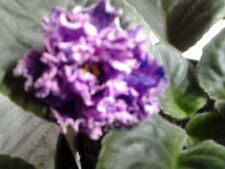 Midnight Waterfall African Violet Starter Plant