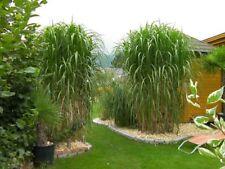Miscanthus Giganteus tall herbaceous bamboo grass great screen exotic BIG 2L POT