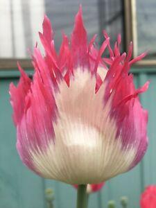 Poppy: Izmir Afghan Pink Flame GMO (500+ seeds)