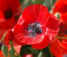 100 RED CORN POPPY FLOWER SEEDS FREE SHIPPING POPPY SEED
