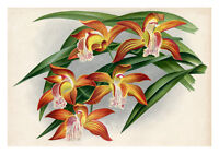 Cymbidium Tracyanum by Jean Linden Orchids A4 Art Print