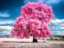 Cherry Blossom big Tree japanese sakura seeds 10pcs