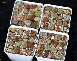 Plant - Lithops 10 plants MIX Randomly(0.5 inches)Living Stone