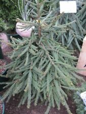 Picea abies 'Loreley' - Polster-Fichte 'Loreley' 50-60