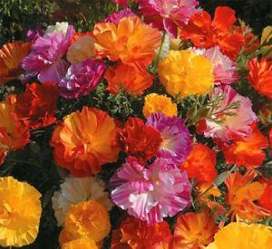 California Poppy - BALLERINA MIX - 300 SEEDS - DOUBLE POPPY - Eschscholtzia