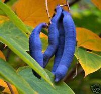 schrill blaue Gurken Blaugurkenbaum mit sehr leckeren, gesunden Gurken // Samen