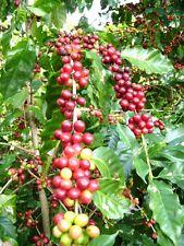 EXOTIC Coffea arabica, tropical coffee bean tree shrub rare cafe seed 10 SEEDS