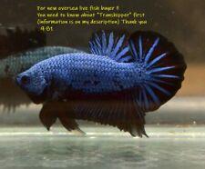 New listing LIVE Betta fish  Blue black dragon Hmpk Male 981.Charmingbetta From Thailand.