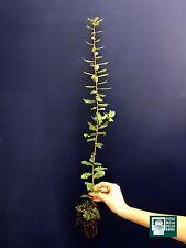 QUERCUS CRENATA alv pianta plant Cerrosughera Turkey oak-Cork oak quercia rara