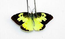 10 Dogface Butterflies, Zerene cesonia A1 perfect quality ARTWORK specimens