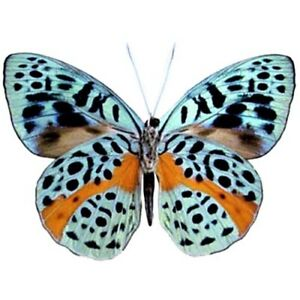 Eunica chlorochroa ONE REAL BUTTERFLY BLUE ORANGE PERU UNMOUNTED WINGS CLOSED