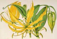 Gloriosa lutea, Feuerlilie, , Schmucklilie, Gelbe Ruhmeskrone 50 Samen,