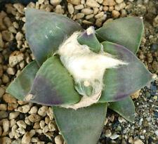 Ariocarpus retusus cv cauliflower X purple Tokuy (japan) 239JP