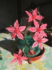 Graptopetalum Bellum * Tacitus Bellus * Chihuhua Flower Succulent * 10 Seeds *