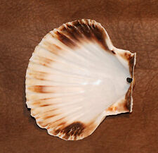 "4"" (10cm) Scallop Shell Smudging Dish - Locally sourced in the West Country"
