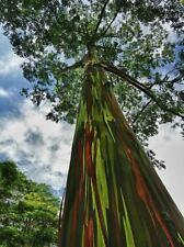 Regenbogenbaum Eucalyptus deglupta 100 Samen Einzigartiges Farbspektakel BONSAI
