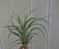 Large Tillandsia Caput Medusae x Brachycaulos