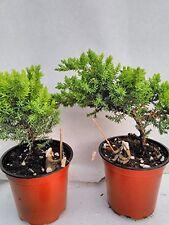 Bonsai Two Juniper Garden Tree 4'' Pot Home Decor Plant Live Indoor Flowers New