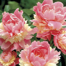 10pcs Rare Colorful Pink Double Blooms Peony Tree Seeds Bonsai Plant Garden Set