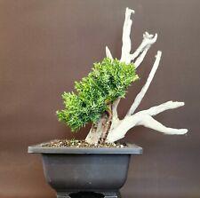 Bonsai tree tanuki nana  needle juniper shohin size project