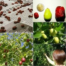 rare fruit tree Chinese Date ZIZIPHUS JUJUBA plant, tasty, edible fruit, hardy