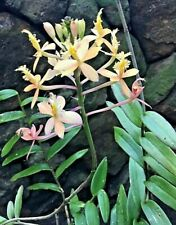 EPIDENDRUM CRUCIFIX ORCHID - 'EGGSHELLS' - Stem 40 Cm + should flower !