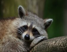 METAL REFRIGERATOR MAGNET Raccoon Resting On Log Raccoons