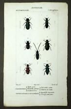 DIFFERENTS CURCULIONIDAE Insecte entomologie coléoptères gravure aquarelle 1819